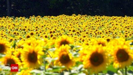 <span style='background:#EDF514'>ULEIUL</span> este tot mai scump, desi productia de floarea soarelui a fost foarte mare anul acesta. Care este motivul