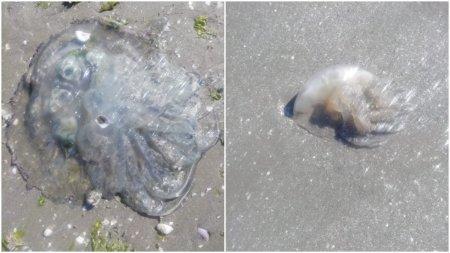Invazie de meduze la <span style='background:#EDF514'>NAVODARI</span>. Specialistii avertizeaza sa nu le atingem
