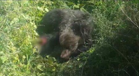 Pui de urs ranit. Interventie dificila a jandarmilor bistriteni