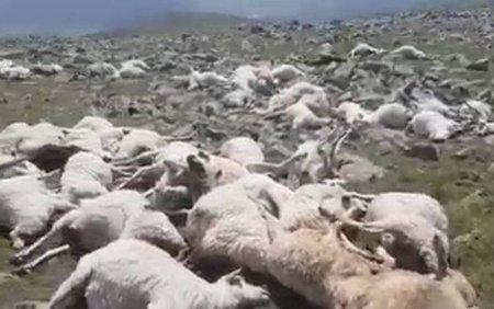 Cosmarul unui cioban. A gasit 550 de oi moarte pe munte, <span style='background:#EDF514'>LOVITE</span> de fulger