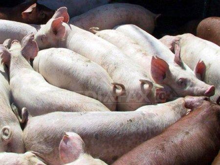 Trei tineri din Harghita investesc 8 mil. lei intr-o ferma de porci: In ultima perioada a crescut interesul fermierilor pentru purcei, numarul fermelor de reproductie fiind redus. Ferma ar urma sa fie gata in trei ani, compania din Harghita avand la dispozitie o suprafata de 11,2 hectare pentru constructii