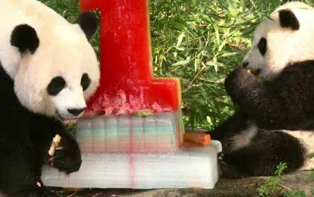 VIDEO. Prima <span style='background:#EDF514'>ANIVERSARE</span> a unui pui de urs panda, sarbatorita cu un tort special, de gheata