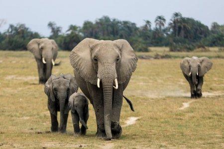 De ce isi numara K<span style='background:#EDF514'>ENYA</span> elefantii. Țara africana a inceput cel mai mare recensamant al animalelor salbatice