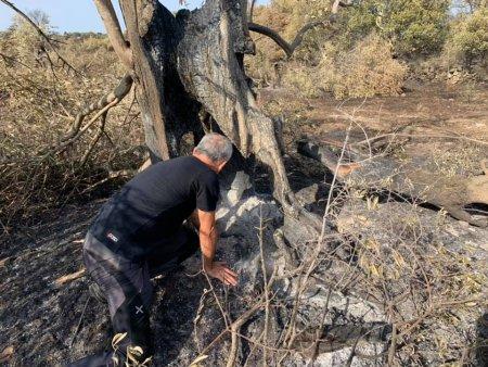 O comunitate din Sardinia s-a mobilizat pentru salvarea unui maslin cu o vechime de aproape 2.000 de ani, care a ars in incendiile din iulie