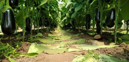Productia mare de vinete ii duce pe fermieri la dezastru: La 50 de bani pe kil, va trebui sa le aruncam