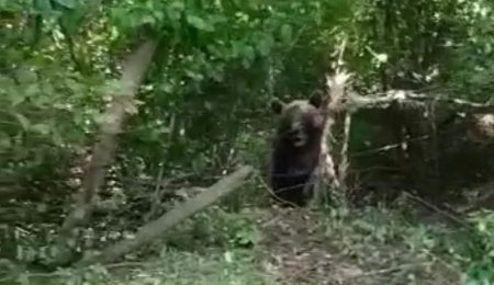 Urs de 300 de kilograme, blocat intr-un gard de sarma, in comuna nemteana Bicaz-Chei. Primar: E periculos, nu stiu ce sa facem