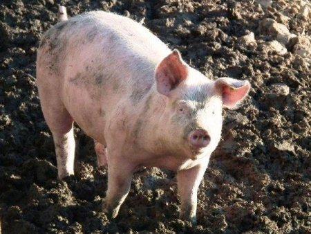 DSVSA Buzau: 'Apar aproape zilnic focare de pesta porcina'