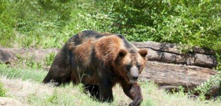 Tanar din judetul Bacau atacat de un urs. Numarul ursilor este de opt ori mai mare decat cel optim