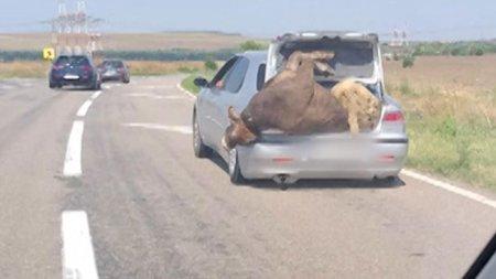 Un sofer a inghesuit o vaca si un berbec in <span style='background:#EDF514'>PORTBAGAJUL</span> masinii. Imaginile au fost surprinse pe DN72