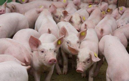 Pesta porcina, depistata la alte doua ferme din judetul Buzau