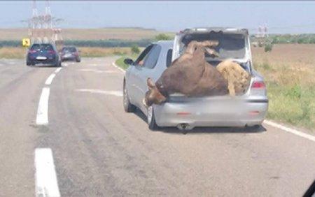 Șofer surprins pe <span style='background:#EDF514'>O SOSEA</span> din Prahova cu o vaca si o oaie in portbagaj
