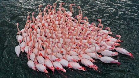 Pasarile flamingo <span style='background:#EDF514'>CUIB</span>aresc in Dobrogea pentru prima data: Au deja zece pui