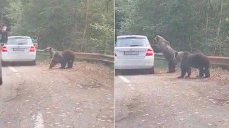 Bucuresteni surprinsi cand incearca sa fotografieze doi ursi, iar unul dintre animale sare pe masina lor, pe <span style='background:#EDF514'>TRANFAGARASAN</span>