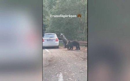 Scene incredibile pe <span style='background:#EDF514'>TRANSFAGARA</span>san. O femeie a scos capul pe geamul masinii langa doi ursi, fiind atacata