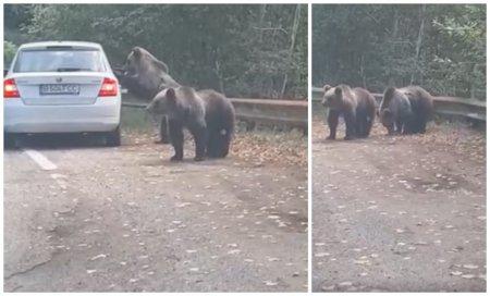 Scene incredibile pe <span style='background:#EDF514'>TRANSFAGARA</span>san. Doi turisti au fost la un pas sa fie atacati de ursi, in timp ce incercau sa se fotografieze cu acestia