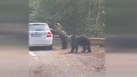 Inconstienta turistilor pe Trasfagarasan: Și-au riscat viata pentru o fotografie cu un urs
