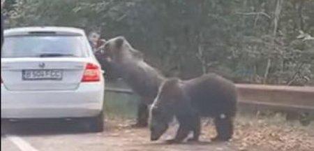 Turisti atacati de ursul pe care incercau sa-l fotografieze, pe <span style='background:#EDF514'>TRANSFAGARA</span>san. Imprudenta care i-ar fi putut costa viata VIDEO