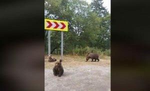 Șosoaca i-a certat pe localnicii din zona <span style='background:#EDF514'>TRANSFAGARA</span>san ca sperie ursii in loc sa-i hraneasca