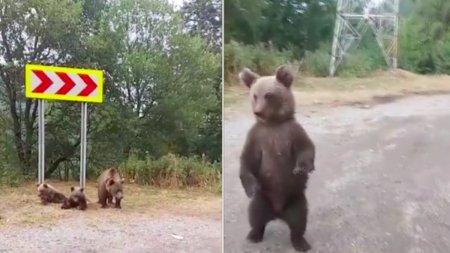 Diana Șosoaca, live pe Facebook cu o ursoaica si doi pui, pe <span style='background:#EDF514'>TRANSFAGARA</span>san: Poate ar fi nevoie de ei prin Parlament si Guvern