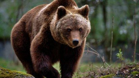 Un urs a intrat in curtea unui localnic din <span style='background:#EDF514'>PETROSANI</span> in toiul noptii si a omorat animale, alarmand intreg satul