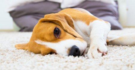 Adevarul despre emotiile animalelor. Cand se imbolnavesc, de fapt, cainii