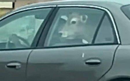 VIDEO. Un sofer a mers la fast-food cu o vaca pe <span style='background:#EDF514'>BANCHET</span>a din spate a masinii. Imaginile au devenit virale