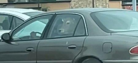 Cum a inghesuit-o acolo? O vaca, pe bancheta din spate a unei masini, la un fast-food din SUA