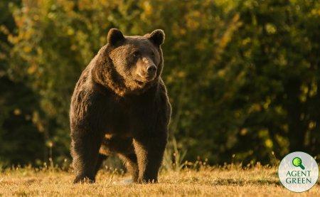 Miscare de ultima ora a autoritatilor din Arges: Un urs agresiv a fost impuscat