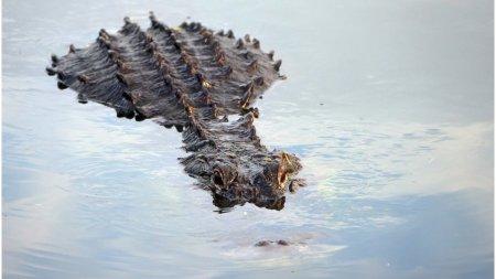 Un barbat din New Orleans a disparut dupa ce un aligator i-a muscat <span style='background:#EDF514'>BRATUL</span> in timpul uraganului Ida
