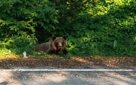 Cruzime fara margini, <span style='background:#EDF514'>IN DAMBOVITA</span>. Un urs a fost prins intr-o capcana si ucis de doi indivizi