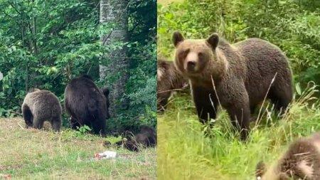 Cantareata Delia a surprins 13 ursi, in 20 de minute, pe un traseu din zona barajului Vidraru: Erau la strada