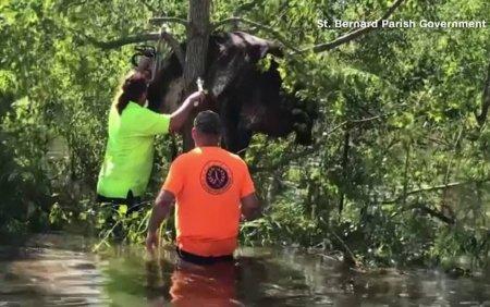 Uraganul Ida: o vaca, prinsa intr-un copac, a fost salvata de oameni. Alte sute de animale si-au pierdut viata in inundatii