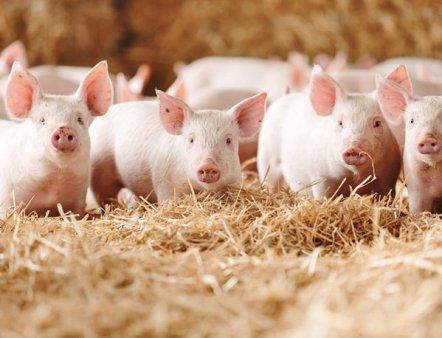 Intr-o avalansa de scumpiri, carnea de porc se ieftineste in Europa, din cauza pandemiei de pesta porcina. Piata da semne ca preturile vor continua sa se duca in jos