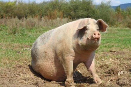 Pesta porcina ieftineste carnea de porc in Europa