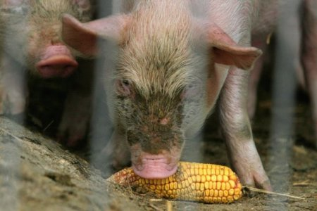 <span style='background:#EDF514'>ANSVSA</span>: 69 de noi focare de pesta porcina africana, depistate in ultima saptamana. Judetele unde sunt cele mai multe