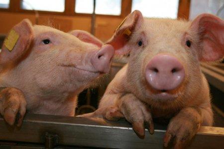 <span style='background:#EDF514'>ANSVSA</span>: Numarul cazurilor de pesta porcina africana a ajuns la 631 in Romania