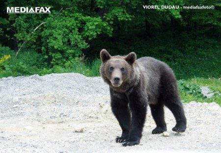 Un barbat a fost atac de urs, in P<span style='background:#EDF514'>RAHOVA</span>. Victima are rani grave