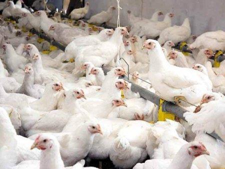 Producatorul de carne de pasare Avicola <span style='background:#EDF514'>SLOBOZIA</span>, detinut majoritar de Dumitru Stanoiu, a avut o pierdere de 5,8 mil. lei in S1/2021, la afaceri de 36,8 mil. lei