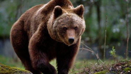 Un barbat are maxilarul si o ureche rupta, dupa ce a fost <span style='background:#EDF514'>SFASIAT</span> de un urs, in Prahova