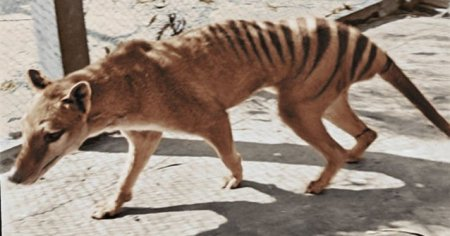 VIDEO Asa arata <span style='background:#EDF514'>TIGRUL</span> tasmanian, animalul disparut de cateva decenii
