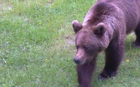Un barbat din P<span style='background:#EDF514'>RAHOVA</span> a fost desfigurat de un urs. S-a trezit cu el in fata in gradina
