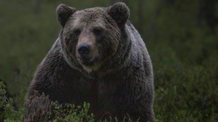 Impuscarea si transarea unui urs din Neamt ii va costa zeci de mii de euro pe faptasi. Resturile animalului au fost gasite sub un pod