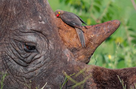Cum incearca <span style='background:#EDF514'>PROPRIETARII</span> de rinoceri din Africa de Sud sa salveze animalele de braconieri