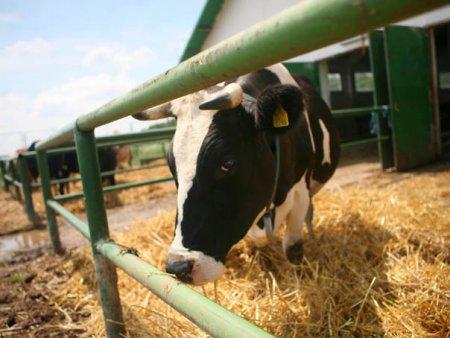 Studii de mediu. Gigantii industriei de carne polueaza mai mult decat Germania