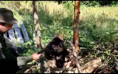 Un urs a ramas captiv intr-un gard. Animalul a fost eliberat dupa ce a fost tranchilizat