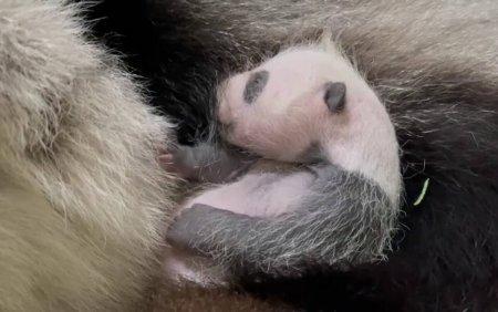 Primul panda urias nascut in Singapore. A venit pe lume in urma cu o luna. <span style='background:#EDF514'>GALERIE FOTO</span>