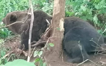 Un urs s-a chinuit 12 ore blocat intr-un gard din Neamt, pentru ca primaria nu avea contract cu o asociatie de vanatori
