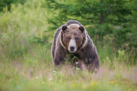Un urs a ramas blocat 12 ore intr-un gard din Neamt, pentru ca primaria nu avea contract cu o asociatie de vanatori