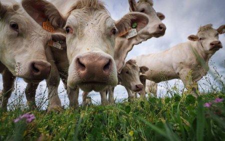Vacile, invatate sa mearga la toaleta pentru a reduce <span style='background:#EDF514'>EMISIILE</span> de gaze cu efect de sera