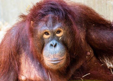 Aproximativ 30 de urangutani din Borneo, testati pentru coronavirus. Care este <span style='background:#EDF514'>MOTIVUL</span> si cati dintre acestia sunt infectati